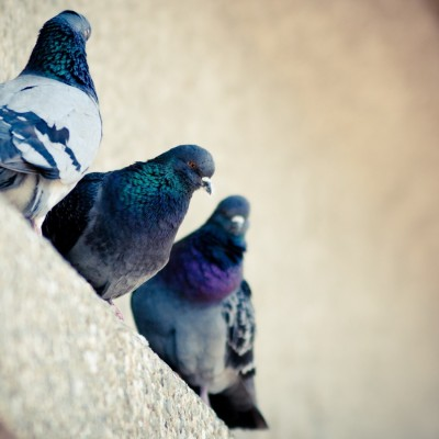 three_pigeons_birds-1680x1050